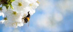 Biene in Kirschblüte